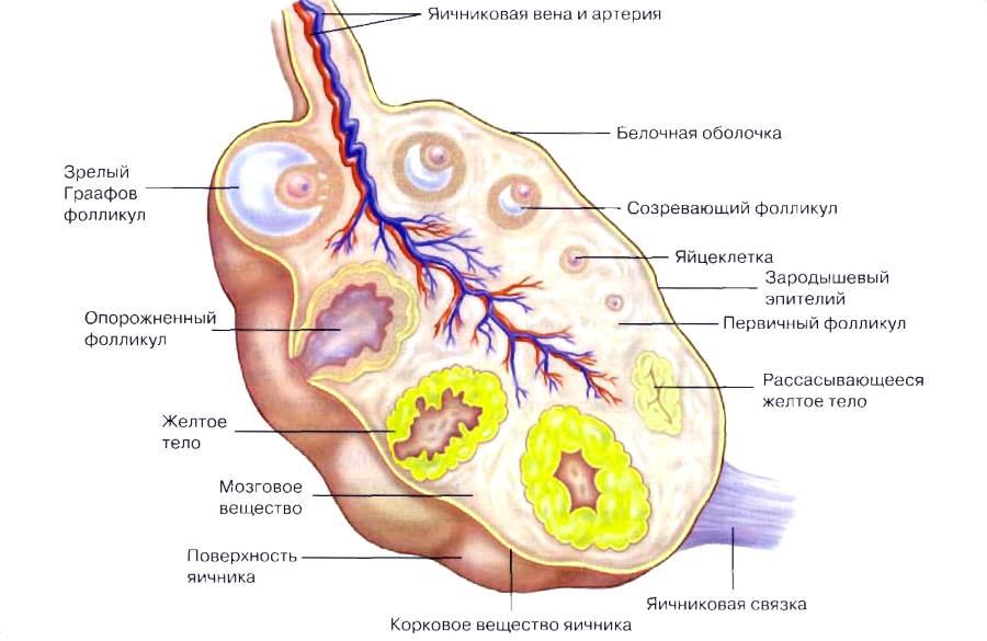 Фолликулы в яичниках при менопаузе - схематическое изображение