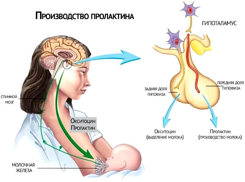 Норма пролактина при климаксе